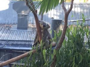 koala baer 2